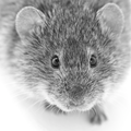 Common voles are key players of tularemia epidemiology.png