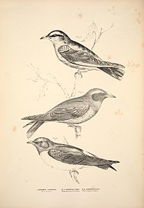 Companion to Gould's Handbook; or, Synopsis of the birds of Australia (Plate 18) (6943635477).jpg