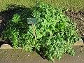 Conium maculatum - Jardin des Plantes de Paris.JPG