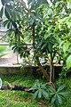 Conservatoire botanique national de Brest-Badula balfouriana-15 07 01-ClaudePERON (19599877193).jpg