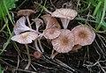 Contumyces rosellus (M.M. Moser) Redhead, Moncalvo, Vilgalys & Lutzoni 312300.jpg