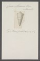 Conus macarae - - Print - Iconographia Zoologica - Special Collections University of Amsterdam - UBAINV0274 086 07 0039.tif