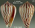 Conus zebroides 1.jpg