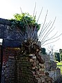 Copped Hall damaged brick wall and ivy, Epping, Essex, England.jpg