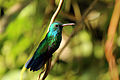 Copper-rumped hummingbird (Amazilia tobaci tobaci).jpg