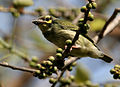 Coppersmith Barbet (Megalaima haemacephala) feeding on Ficus religiosa W IMG 8207.jpg