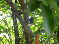 Copsychus saularis in a tree in Nagpur, India.jpg