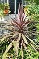 Cordyline australis 'Red Sensation' Plant 2000px.JPG