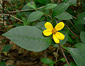 Coreopsis mutica 2.jpg