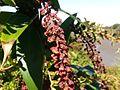 Coriaria ruscifolia subsp microphylla Irazu 3.jpg