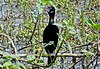 Cormorant, found at Assam.jpg