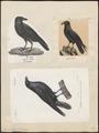 Corvus corax - 1700-1880 - Print - Iconographia Zoologica - Special Collections University of Amsterdam - UBA01 IZ15700205.tif