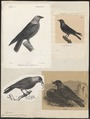 Corvus monedula - 1700-1880 - Print - Iconographia Zoologica - Special Collections University of Amsterdam - UBA01 IZ15700253.tif