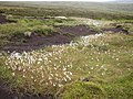 Cotton Grass, Birk Moss, Marsden - geograph.org.uk - 480799.jpg