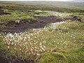 Cotton Grass, Birk Moss, Marsden - geograph.org.uk - 480799.jpg