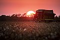 Cotton harvesting at sunset with light orange sky in Batesville, Texas cotton field.jpg