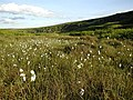 Cottongrass, Round Hill, Rosedale - geograph.org.uk - 20652.jpg