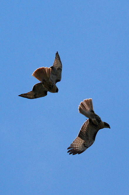 Territorial adult chasing away an immature red-tailed hawk Courting redtails.JPG