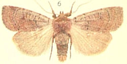 Cousin German Moths of the British Isles.jpg