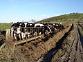 Cows on the downs above Amberley - geograph.org.uk - 1168730.jpg