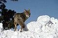 Coyote031 (26331184143).jpg