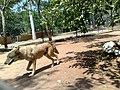 Coyote en el Zoofari, Cuernavaca, Morelos.jpg