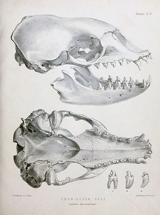 Crabeater seal - Skull showing details of teeth