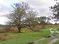 Crabapple tree near Fritham Cross hollies, New Forest - geograph.org.uk - 267554.jpg