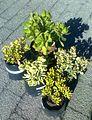 Crassula ovata - cultivars varieties.jpg