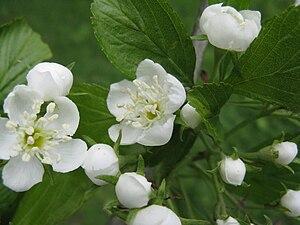 Crataegus punctata - Image: Crataegus punctata flowers 1