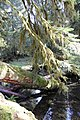 Creek log hanging branches sol duc forest d archuleta march 04 2015 (17127875439).jpg