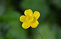 Creeping buttercup during the Spring.jpg