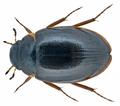 Crenitis punctatostriata (Letzner, 1840) (14793366797).png