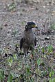 Crested Serpent Eagle (181633437).jpeg