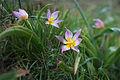 Cretan Tulip2(js).jpg