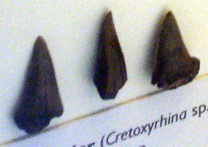 Cretoxyrhina - 'Cretoxyrhina sp. teeth at the Geological Museum, Copenhagen.