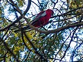 Crimson Rosella (21246127778).jpg