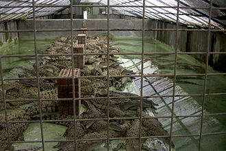 Crocodile farm - Saltwater crocodile farm in Australia