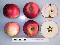 Cross section of Duchess's Favourite, National Fruit Collection (acc. 2000-031).jpg