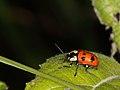 Cryptocephalus quinquepunctatus (Chrysomelidae) (7576551040).jpg