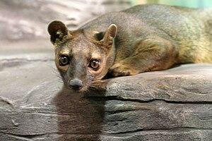 Rosamond Gifford Zoo - Fossa