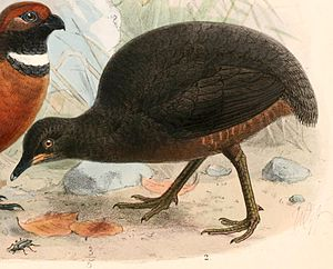 Berlepsch's tinamou - Berlepsch's tinamou is the bird in the center. The bird on the left is another species.