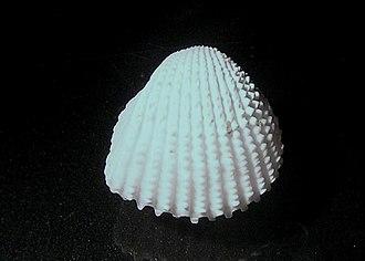 Cockle (bivalve) - Image: Ctenocardia fornicata 002