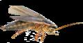 Cucaracha Americana (Fucesa).png