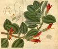 Curtis's Botanical Magazine, Plate 3081 (Volume 58, 1831).png