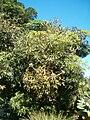 Cussonia spicata KirstenboshBotGard09292010D.JPG