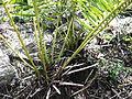 Cycas circinalis-2-yercaud-salem-India.JPG