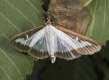 Cydalima perspectalis MHNT Imago wiki.jpg