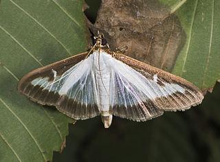 Pyrale du buis -Papillon