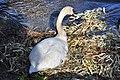 Cygnus olor (brütend) - Arboretum 2011-05-24 18-04-52.jpg